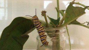 Big Monarch Caterpillar