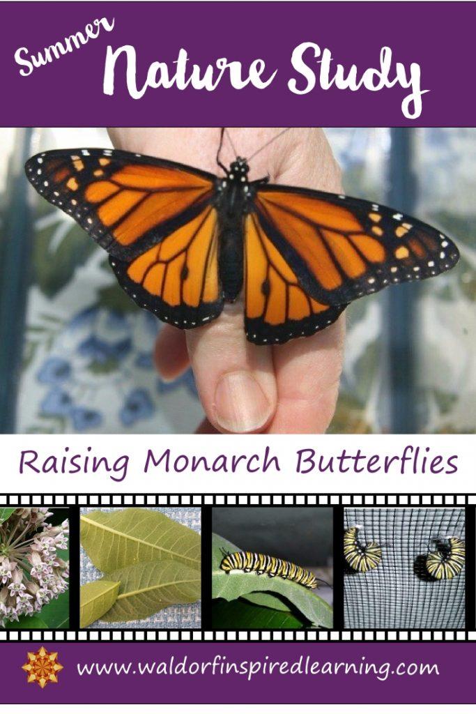 Summer Nature Study Raising Monarch Butterflies